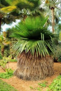 "This palm is stunning. The Petticoat Palm Tree, Copernicia macroglossa, is native to Cuba. The unique feature of this palm is its fan-shaped leaves that have no petioles. If not removed, dry old leaves form a ""petticoat"". This slow growing palm can tolerate drought, is cold hardy, and can also be grown indoors. There are four of these petticoat palms in the garden."