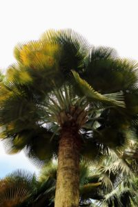 The stately Bailey palm, or Copernicia baileyana,  has a massive gray trunk that can be up to 24-inches in diameter and reach 50-feet in height. This palm has a large crown with dense fan shaped leaves that curve upward. The leaves are about five-feet across, and have a thin waxy coating. The name baileyana is named in honor of Liberty Hyde Bailey (1858-1954), who was among the world's foremost botanists, horticulturists and palm experts.