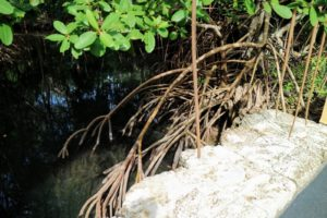 Many mangrove forests can be recognized by their dense tangle of prop roots that make the trees appear to be standing on stilts above the water.