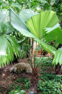 Licuala peltata var. sumawongii is one of the most ornamental and prized of all palms. It has very large, nearly completely circular, pleated, deep green leaves that are so geometric in shape, they barely look real.