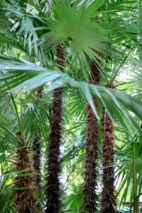 Zombia antillarum, commonly known as the zombie palm, is the only member of the genus Zombia. It is endemic to the island of Hispaniola in the Greater Antilles.