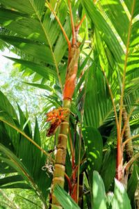 Cyrtostachys renda, also known by the common name, lipstick palm, is a palm that is native to Thailand, Malaysia, Sumatra and Borneo in Indonesia. The lipstick palm is generally grown for its brightly colored and unusual foliage.