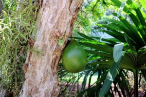 Here is a closer look at a gourd from the calabash tree.