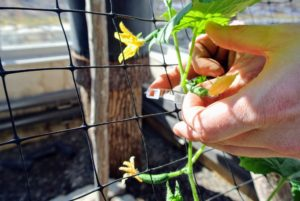 As the cucumbers and tomatoes grow, they are clipped to these vertical netting strips.