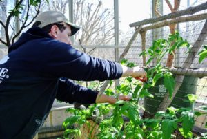 On one side of the greenhouse, growing against the two trellises, are tomatoes and cucumbers. The vines are growing quite fast. Ryan checks them to see if any need more support.
