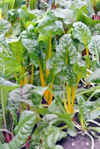Chard has an earthy and nutty flavor and is wonderful sautéed or stir-fried. Fresh young chard can be used raw in salads. Mature chard leaves and stalks are typically cooked.