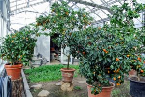 This greenhouse now stores my thriving citrus collection during winter. The trees are so heavy with juicy kumquats and calamondins.