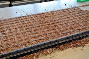 You can see the small indentations in each compartment - this is where the seeds will be planted. This is a great method when planting multiple trays.