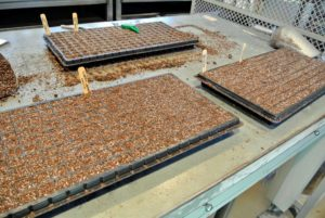 When possible, prepare several trays in an assembly-line fashion, and then drop all the seeds. Doing this saves time and simplifies the process.