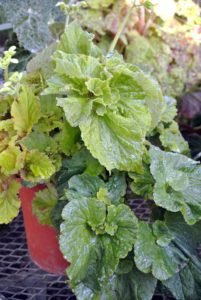 Begonias are propagated from seed or cuttings. You can root rhizome pieces in a mixture of half peat moss, half perlite.