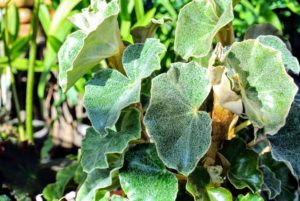 Begonia peltata has fleshy silver-pelted leaves which become thick and waxy during winter.