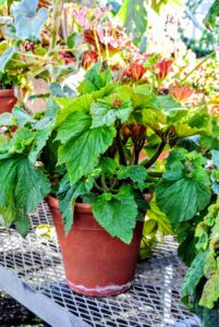 Begonias grow best in light, well-drained soil. Any good light potting mix is okay for your containers.
