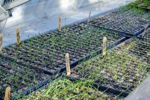 Here are some other seedlings more than a month after planting. These seedlings will remain in the greenhouse for another four to six weeks until they are ready to be separated and transplanted into the ground.