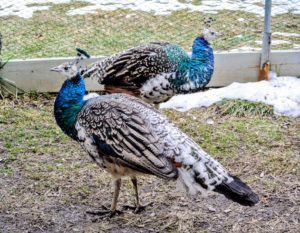 These peafowl are growing more beautiful every day. As they mature, their necks turn more and more blue and iridescent.