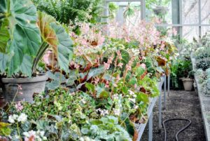 I keep my collection of beautiful begonias on a long, sliding table in my main greenhouse.