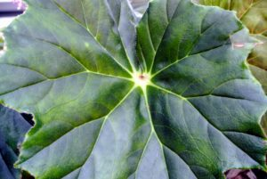 'Lotusland' stands out with its large shield-shaped dark green leaves.
