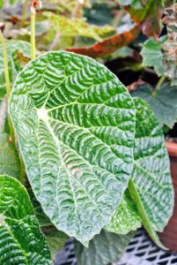 Begonia paulensis has very distinctive foliage. The leaves are large, and shiny green with an extremely textured surface. Keep this houseplant in a shady area during summer months to prevent leaf burn.