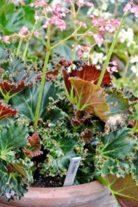 This is Begonia 'Othello' - It has medium-small tightly spiraled leaves of dark olive green.