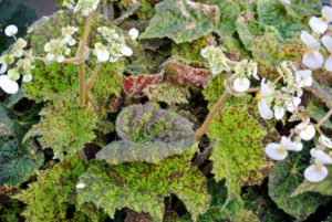 Take a close look at the leaves of this begonia - green leaves speckled with dark burgundy and edged with tiny hairs.