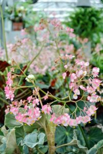 Rhizomatous begonia flowers bloom in late winter to early spring and can range from shades of pink blush to bright white.