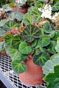 Begonia soli-mutata is a compact medium-sized species from Brazil. The heart-shaped leaf colors vary depending on its exposure to bright light, which is why its common name is Sun Tan Begonia.