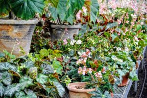 Rhizomatous begonias range from small, delicate plants with one-inch wide leaves to large, robust specimens with 12-inch wide leaves or more.