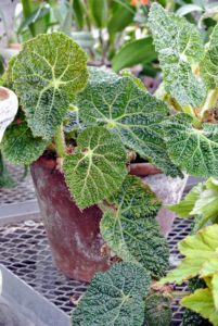 This is called Begonia gehrtii. Begonias are remarkably resistant to pests primarily because their leaves are rich in oxalic acid - a natural insect repellent.