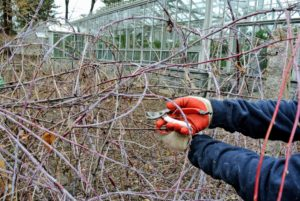 Here is Wilmer using his hand-pruners to prune the raspberry canes.