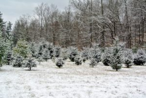 This is the Christmas tree field across from my compost piles. I planted a total of 640 Christmas trees in this field - White Pine, Frasier Fir, Canaan Fir, Norway Spruce, and Blue Spruce.