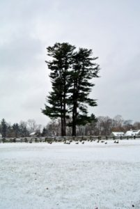 Emerging from the woods and hayfields, past the majestic eastern white pines, Pinus strobus, a flock of Canadian geese are seen walking through the paddock. Look closely - they appear so tiny at the foot of these stately trees.
