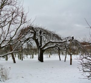 Here is another old apple tree - this one with its natural wood crutches supporting its heavy limbs.