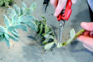 Propagating is also very easy. Here, Ryan snips a three to four-inch piece of stem from the mother plant using sharp pruners.