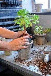 Then, Wilmer carefully tests to see if the pot is the right size for the plant. He chooses a pot that is just slightly larger than the plant's original vessel.