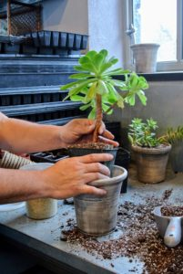 Wilmer gently removes a succulent from the pot, being very careful not to damage any of the roots.