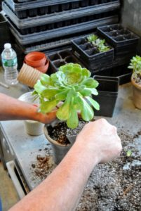 Wilmer carefully places the succulent into the container.