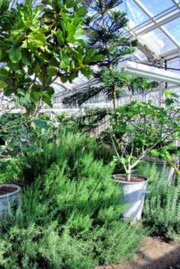 Rosemary loves growing in this greenhouse! Rosemary is a woody, perennial herb with fragrant, evergreen, needle-like leaves. Native to the Mediterranean region, aromatic rosemary is often used to flavor roasted meats, particularly lamb.