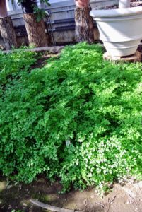 One of my favorite culinary herbs is chervil, a member of the parsley family that's frequently used in French cuisine. Chervil has a mild, slightly liquorice flavor, and is a good addition to omelets.