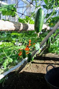 The vines grow up the trellises, and the mature cucumbers hang down from the net for easy harvesting.