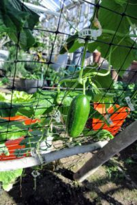 When it is time to harvest, the cucumbers will be pulled easily from the back of the frame.
