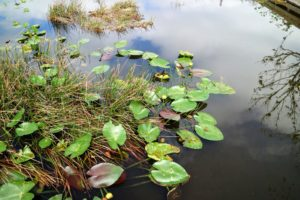 These water lilies are just off the boardwalk island, where we ate lunch.