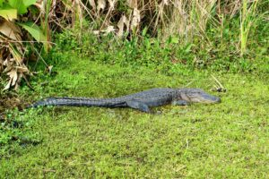 This alligator was on the island where we ate - perhaps he is waiting for leftovers.