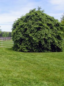 Weeping hornbeams do best in full sun to partial shade. They prefer to grow in average to moist conditions, and grow most vigorously on soil that is fertile, light, deep, and acidic.
