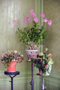 My green parlor looks so inviting decorated with container plants. Here is an Epidendrum orchid, or reed orchid, with two smaller begonias. These orchids thrive with medium to high light conditions and can do well in almost any temperature above 50-degrees Fahrenheit.