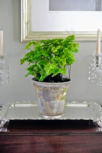 Here is a maidenhair fern, Adiantum. These soft and lacy ferns like to be kept moist, and away from direct sunlight which could burn their leaves.