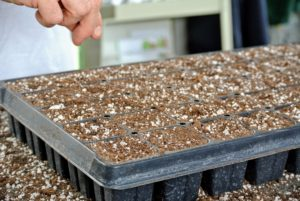 Seeds are usually started about two months before the last frost in the area. If you're not sure, check online or ask garden center associates when the last frost usually occurs in your location. Here, Ryan drops one or two seeds into each cell.