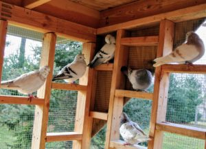 This is the back of the loft, the aviary, where the pigeons socialize and view all the happenings around the farm. This section is all enclosed with special netting to keep them safe.