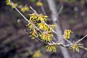 Witch-hazel is a genus of flowering plants in the family Hamamelidaceae. Most species bloom from January to March and display beautiful spidery flowers that let off a slightly spicy fragrance.