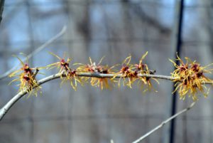 Witch-hazel flowers consist of four, strap-like petals that are able to curl inward to protect the inner structures from freezing during the winter.