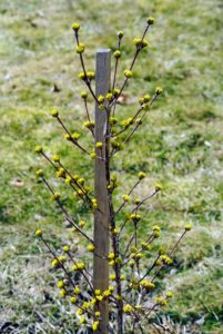 We planted this young witch-hazel specimen just last year.
