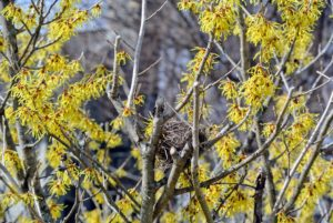 And look at what's perched in this witch-hazel - a bird's nest.